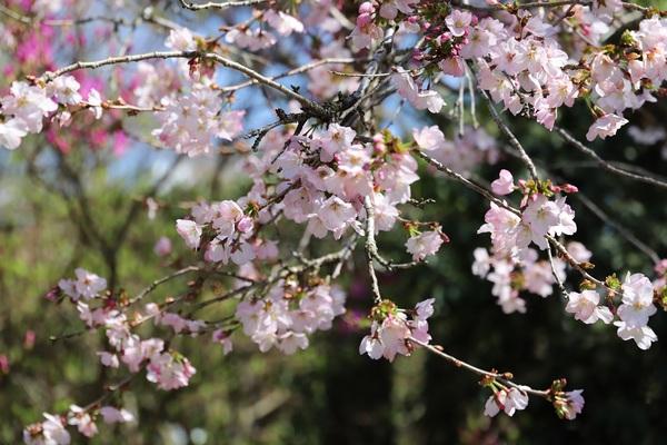 富士芝桜_06.jpg