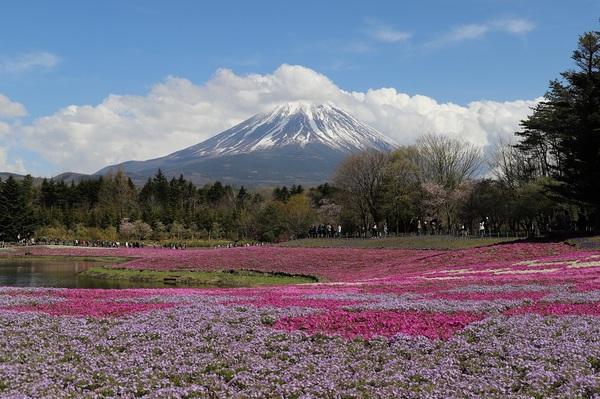 富士芝桜_12.jpg