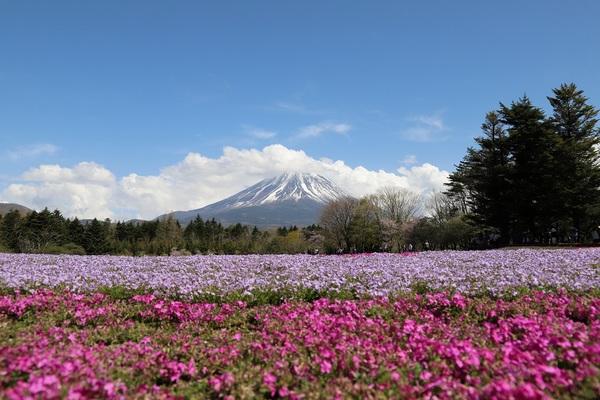 富士芝桜_14.jpg