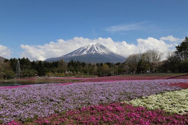 富士芝桜_24.jpg