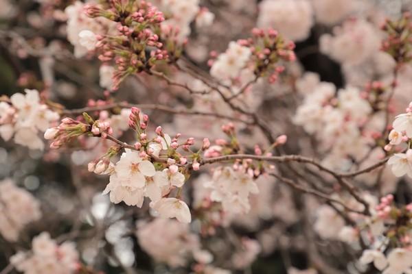 新宿御苑_190330_01.jpg