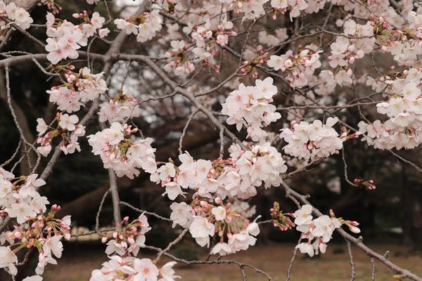 新宿御苑_190330_08.jpg
