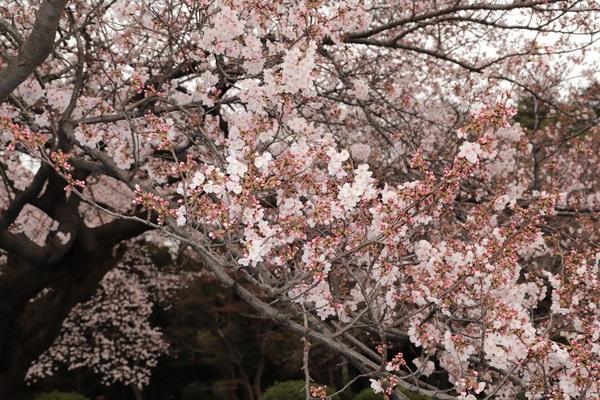 新宿御苑_190330_18.jpg