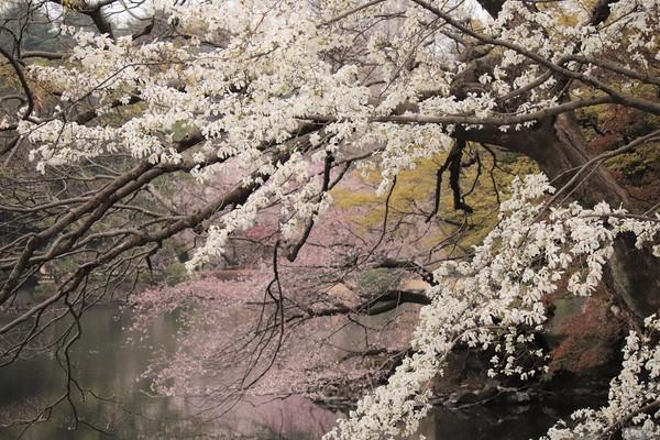 新宿御苑_190330_36.jpg