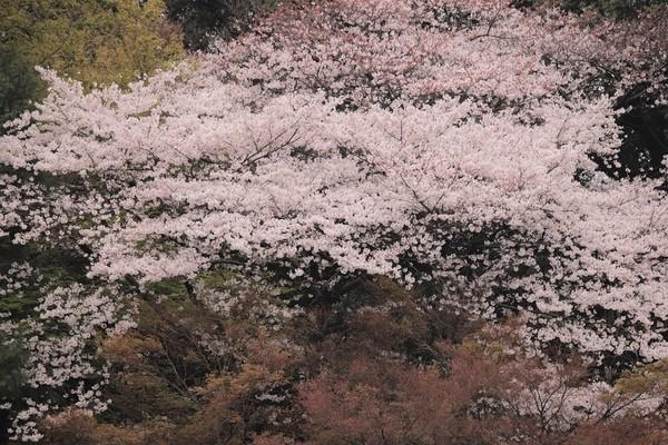 新宿御苑_190330_44.jpg