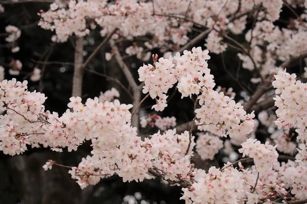 新宿御苑_190330_46.jpg
